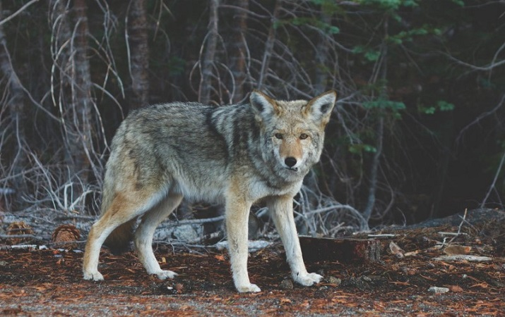 What Time of Night Are Coyotes Most Active?
